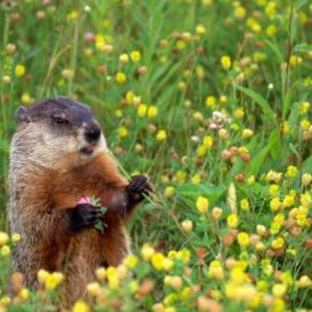 how to get rid of groundn hog
