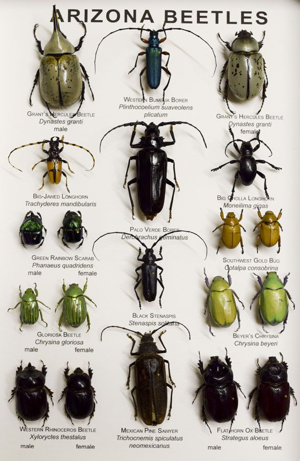 Arizona Beetle Collection Available At Yikes Toys