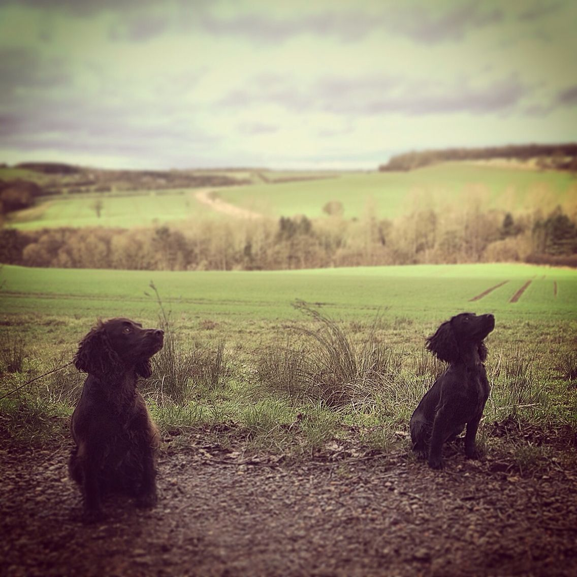 My two English Working Cocker Spaniels. Snoop and Zip. Derbyshire UK. Christmas 2014.