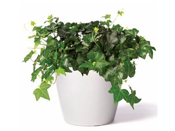 34 Poisonous Houseplants For Dogs And Cats Plants Best Indoor