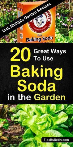 Find out how to best use baking soda in the garden and for your plants. Sprinkled over vegetables and plants, baking soda is a great natural remedy for pest control. Includes a variety of worm, gnats and ants repellent recipes. #gardening #gnats Find out how to best use baking soda in the garden and for your plants. Sprinkled over vegetables and plants, baking soda is a great natural remedy for pest control. Includes a variety of worm, gnats and ants repellent recipes. #gardening #gnats