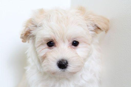 Maltipoo Puppy For Sale In Bel Air Md Adn 54781 On Puppyfinder