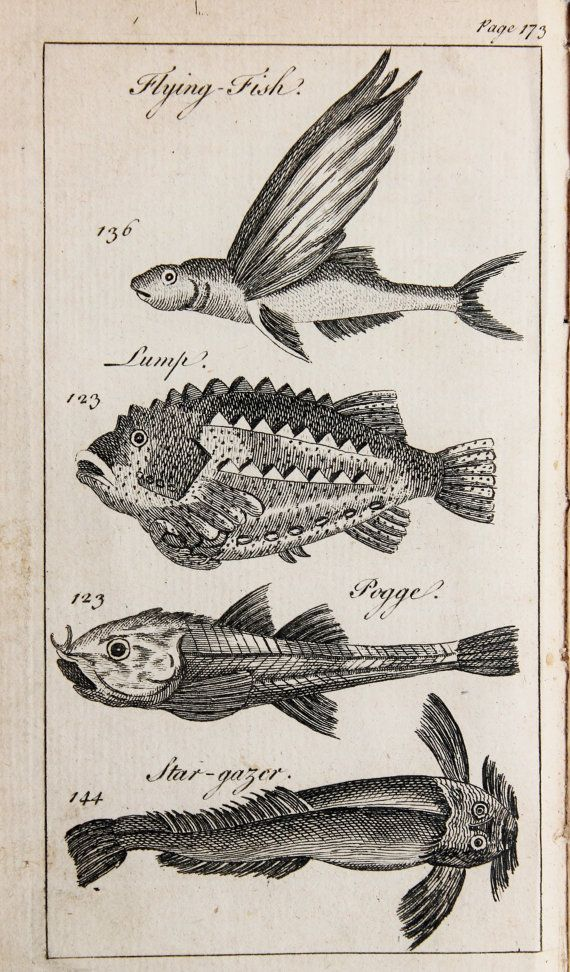 Amazing Antique 1763 Copper Plate Engraving Flying Fish Lumpe