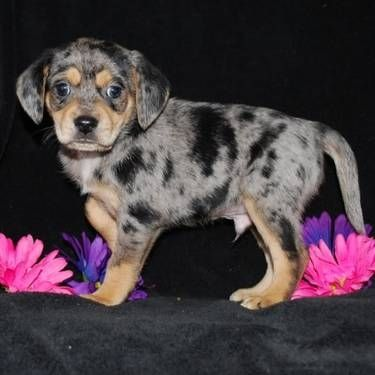 Sold Queen Elizabeth Pocket Beagle Give Me Cute Beagles Beagle Puppy Kittens And Puppies