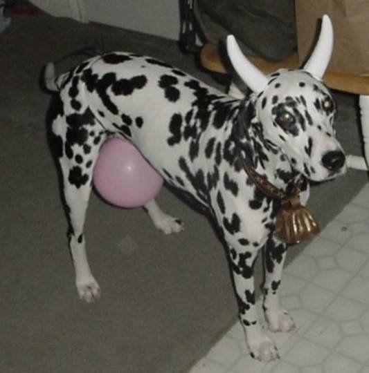 Cow Costume For A Dog And Directions Human Too