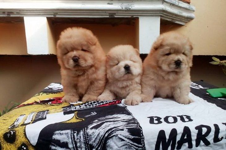 Smooth Chow Chow Puppy Ciao Chows Puppies Chow Chow Dogs
