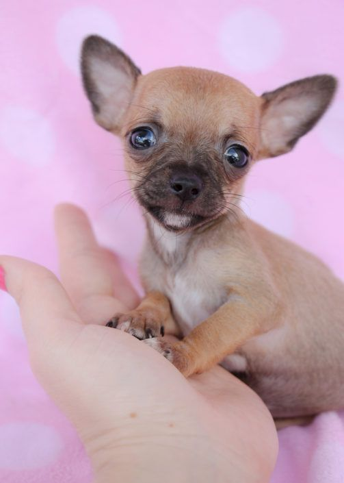 Teacup Chihuahuas And Chihuahua Puppies For Sale By Teacups Chihuahua Puppies Teacup Chihuahua Puppies Cute Puppies