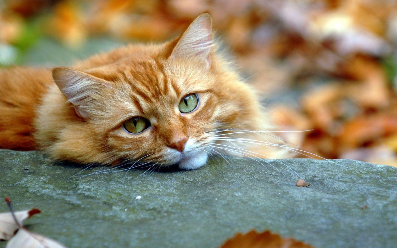 Red Cat Sleep On Autumn