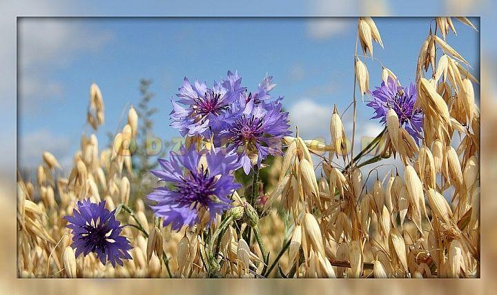 Картинки по запросу васильки цветы фото | Цветы, Фотообои ...