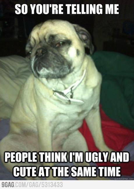 25 Hilarious Pug Memes Cute Pugs Pugs Funny