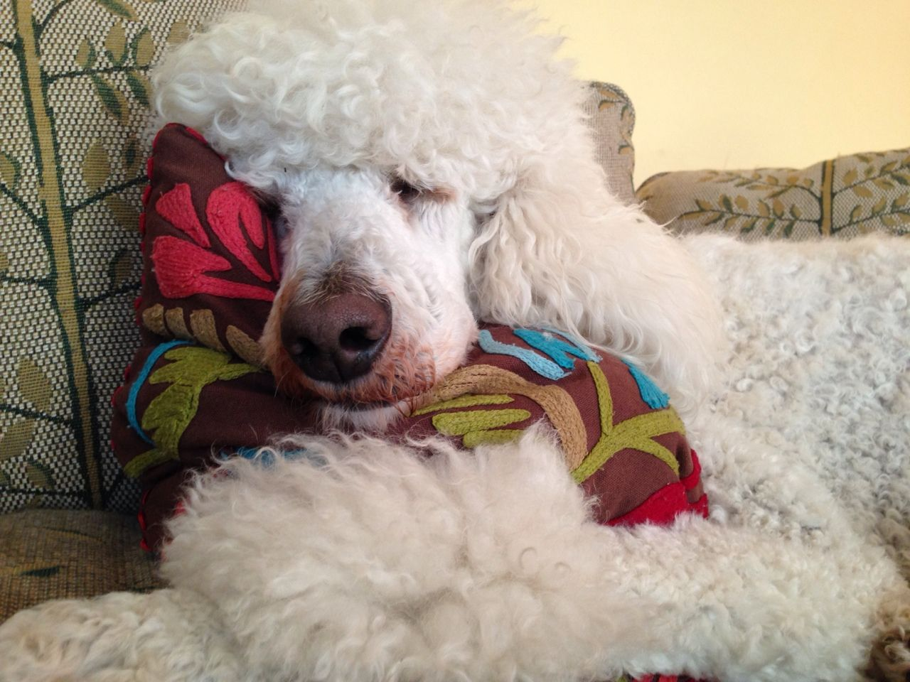 Nothing More Comfy Than A Cushion On A Couch Dimitri Poodle