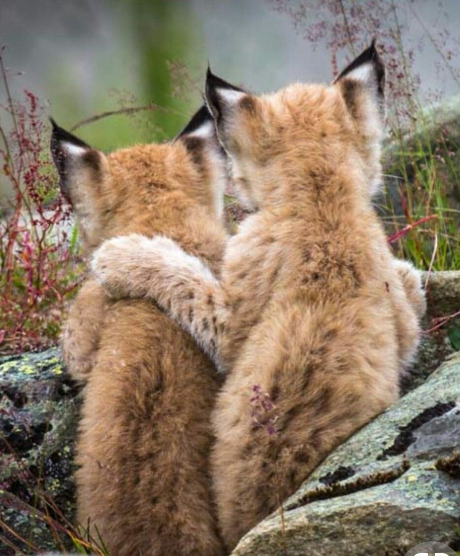 Lynx Or Bobcat Cubs From Behind