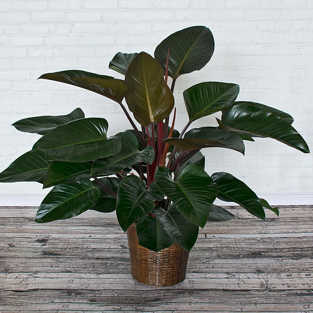 Philodendron Congo Rojo Plants Plant Leaves Plants