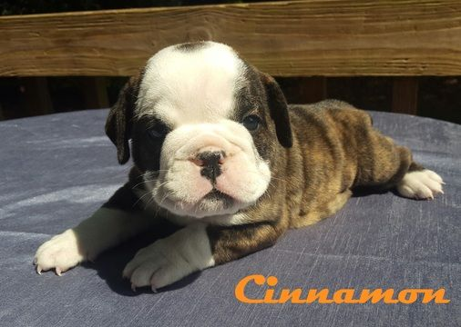 Litter Of 6 Bulldog Puppies For Sale In Morganton Nc Adn 29459