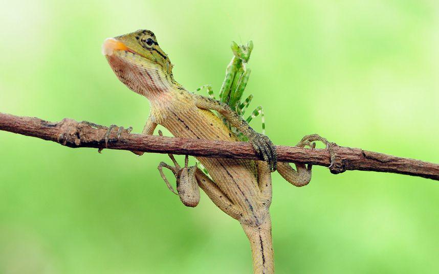 Una mantis religiosa se sienta en la parte posterior de un lagarto oriental del jardín, fotografiado en Cihuni Hill Park en Tangerang, Indonesia por Andri Priyadi