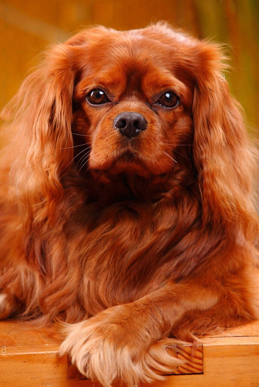 Pin By Julia Jones On Dog Cavalier King Charles Spaniel Cavalier King Charles Cavalier King Charles Dog