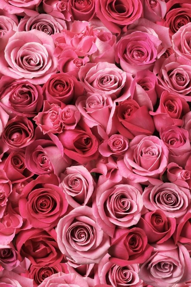 Wallpaper or background with pink roses roses in 2019 - Pink roses background hd ...