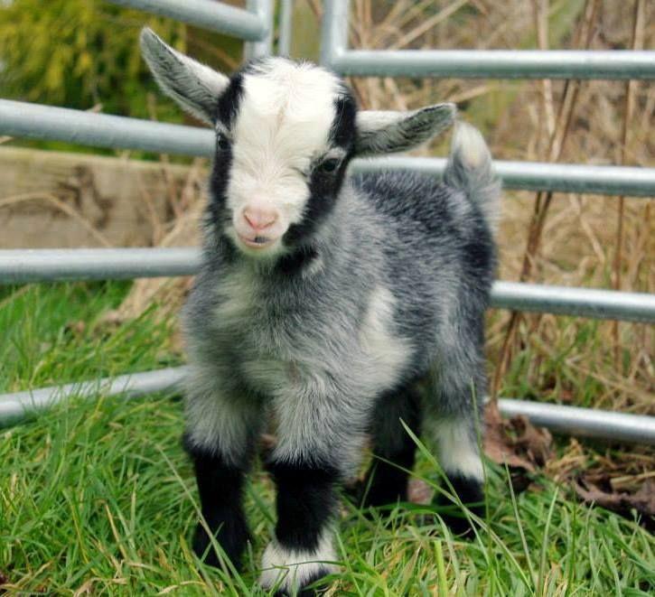 Realityrogue Baby Goats Goats Animals