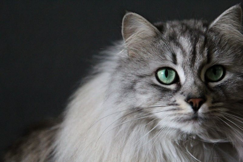 Siberian Cat Siberische Kat Pepper Siberian Cat Norwegian Forest Cat Fluffy Animals
