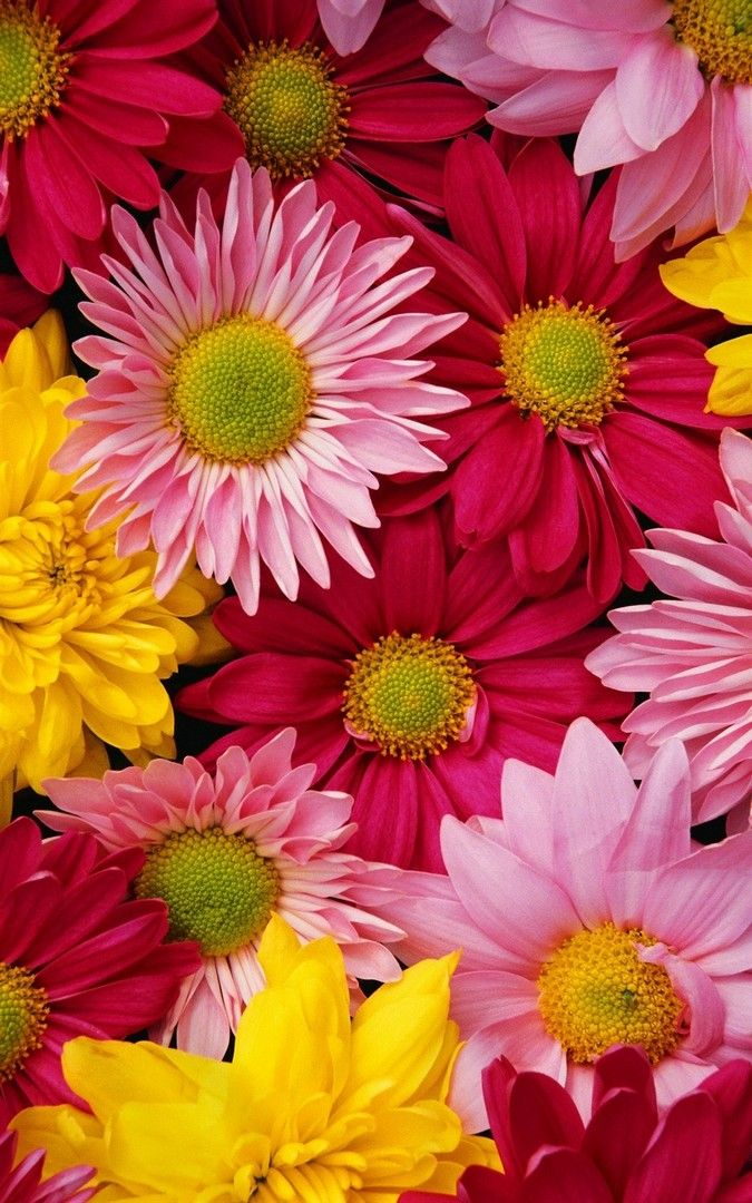 Beautiful Natural Chrysanthemum Wallpaper Iphone Flower Iphone