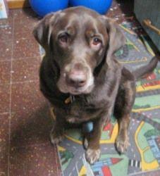 Adopt Moose On Chocolate Labrador Retriever Labrador Retriever