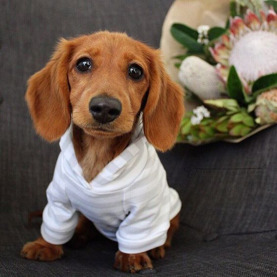 Pin By Tracey Miller On Doggies Baby Dogs Dachshund Puppies