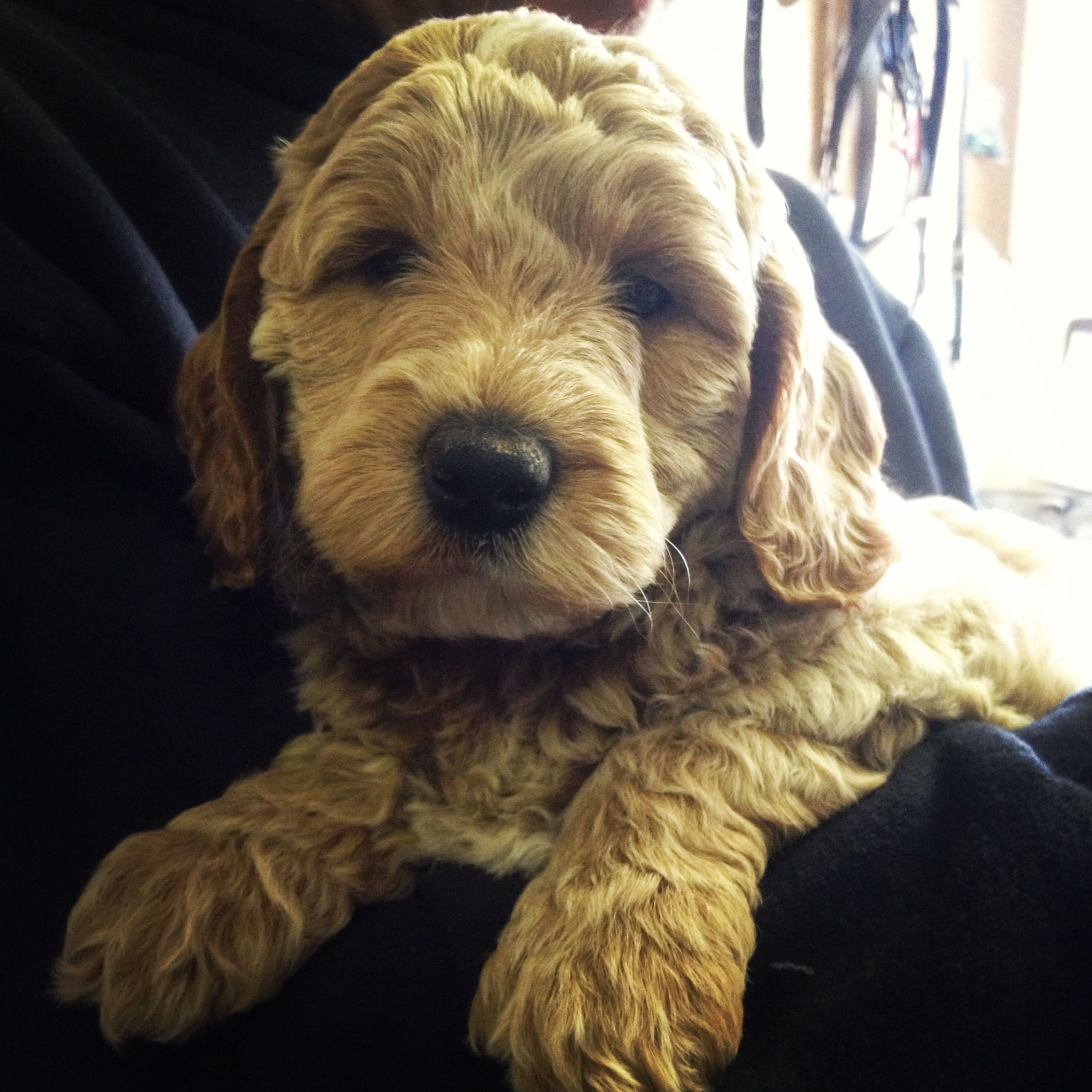 Miniature Australian Labradoodle From Anker Labradoodles In