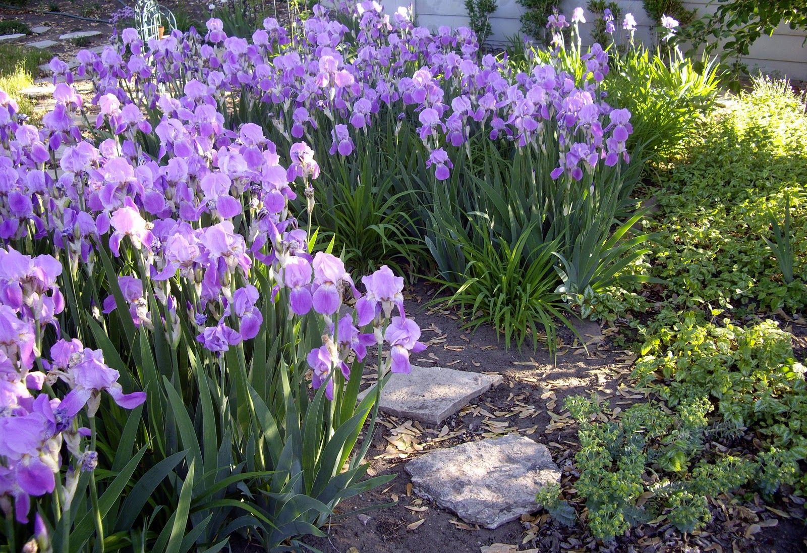 Flower gardan of iris google search photography pinterest iris iris izmirmasajfo Gallery