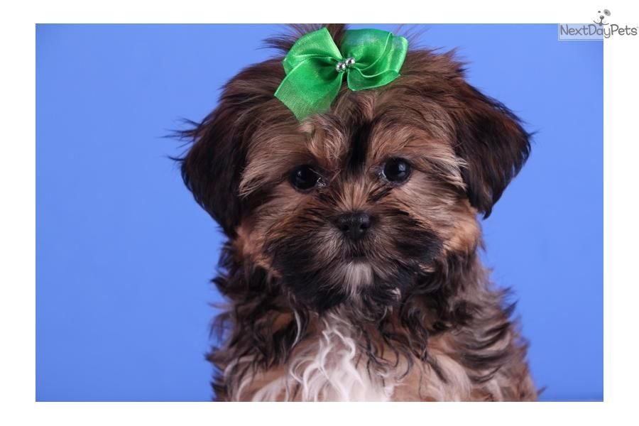 Full Grown Shorkie Bella Adorable Female Shorkie Shorkie Puppies