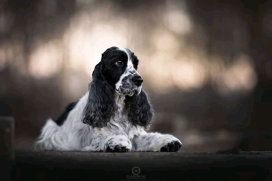 Pin By Alisa Quint Interior Design On English Cockers English Cocker Spaniel English Cocker Springer Spaniel Puppies