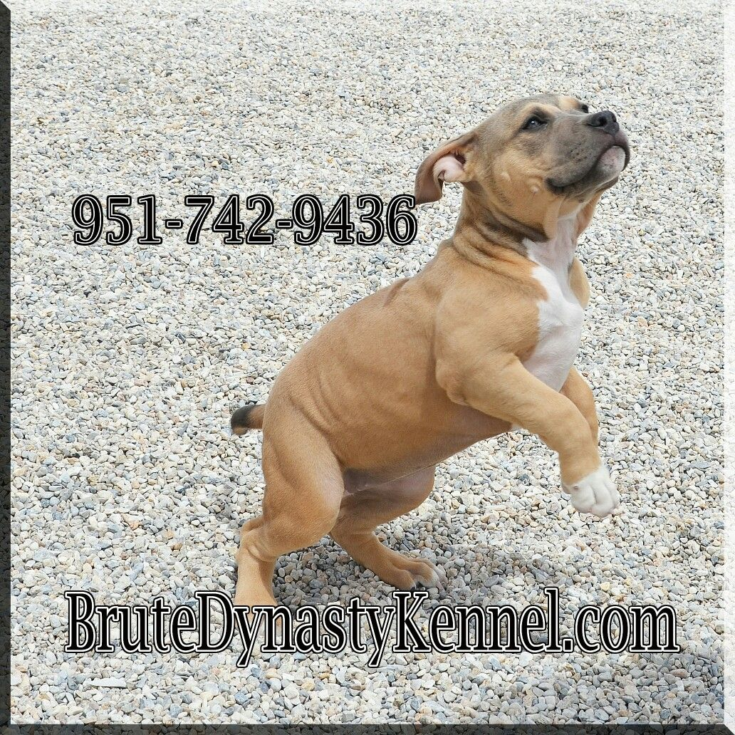 Standard Size Bully Pitbull Puppy With Images Pitbull Puppies For Sale Bully Pitbull Pitbulls