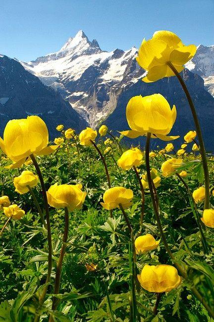 Grindelwald switzerland alpine globeflower trollius europaeus alpine globeflower trollius europaeus meadows at 6000ft with the eiger behind mightylinksfo