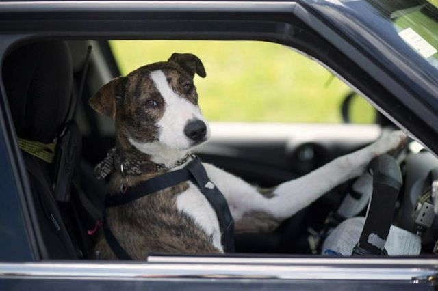 Dogs Driving An Actual Car Driving Dogs Is A Campaign By Spca Auckland Alongside With Mini New Zealand Their Goal Is To Show The Funny Animals Dogs Animals