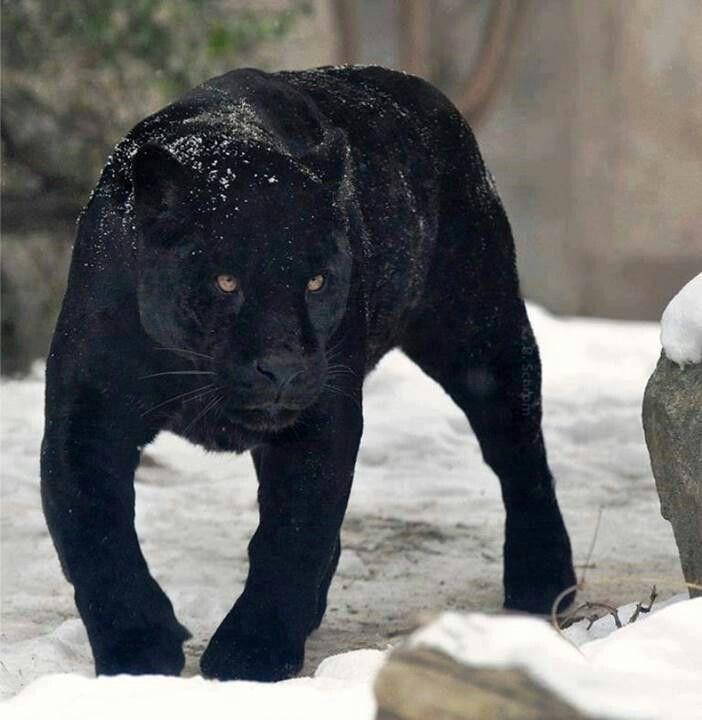 Zwarte panter | Zwarte panter, Panter, Poema's