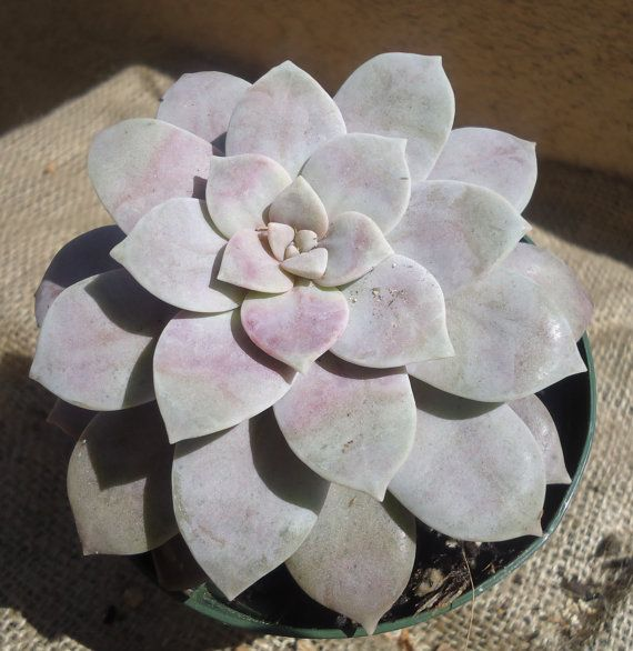 Large Graptopetalum Pentandrum Superum by CTSairplants on Etsy