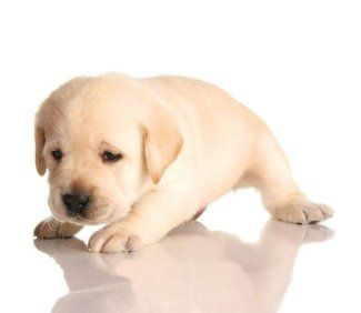 Yellow Lab Names For Your Male Or Female Pooch Yellow Lab