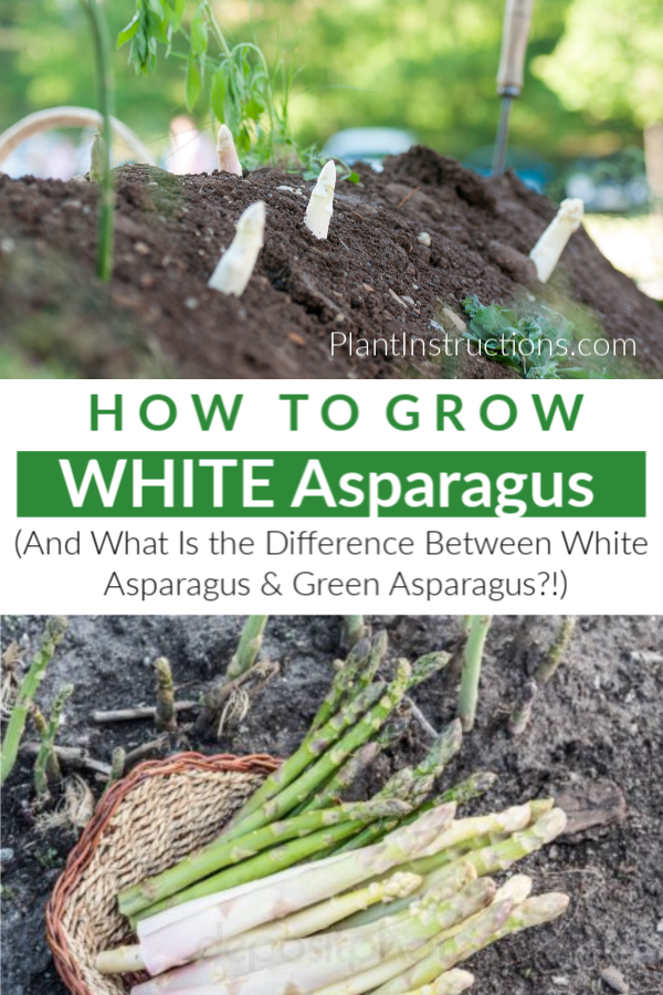 How To Grow White Asparagus Easy Vegetables To Grow Asparagus Plant Growing Vegetables