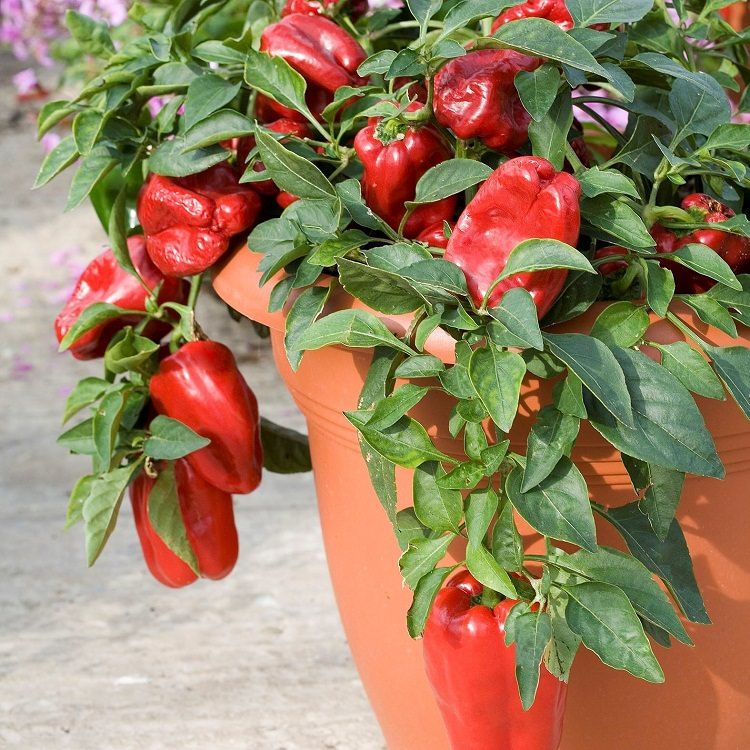 How to grow bell peppers in pots garden web balcony for What vegetables to grow