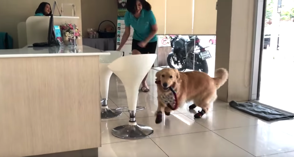 Cute Golden Retriever Treats The Vet S Office As If It S The Playground Animal Shelters Near Me In 2020 Golden Retriever Animal Shelters Near Me Vet Office