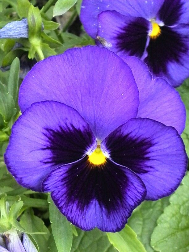 Flr528 Beautiful Flowers Pansies Flowers Pansies