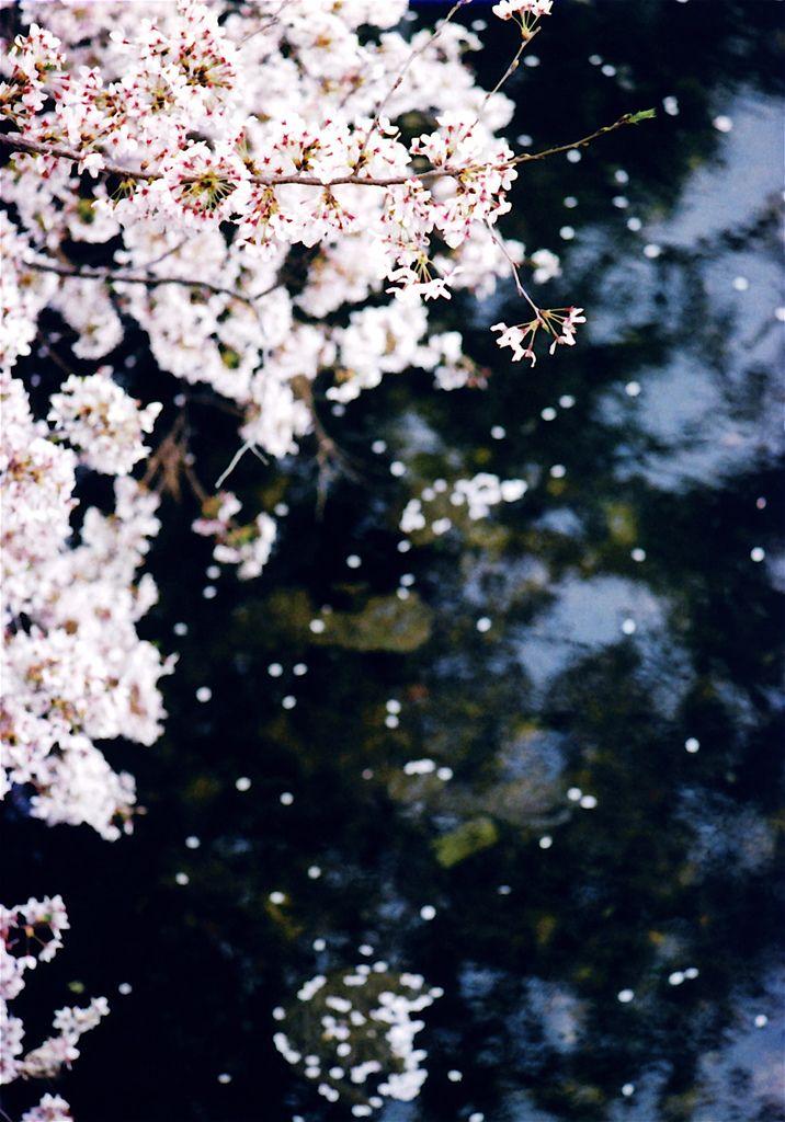 Cherry blossoms in Shukugawa-river park, Nishinomiya City.