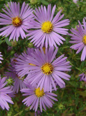 Raydon S Favorite Aromatic Aster Aster Flower Plants Aster Flower Tattoos