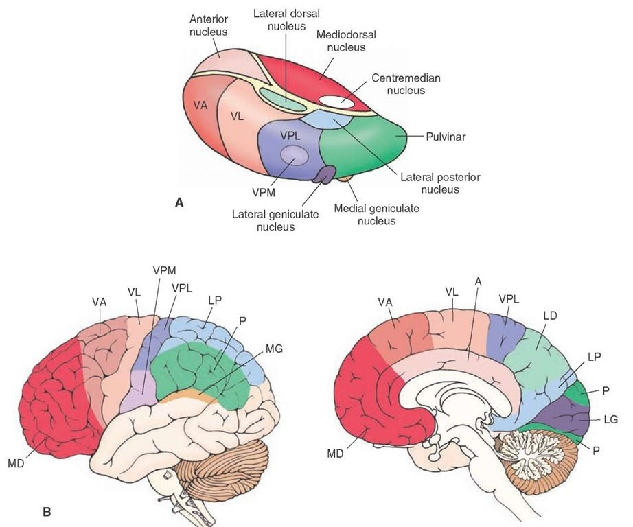 Thalamus Diagram