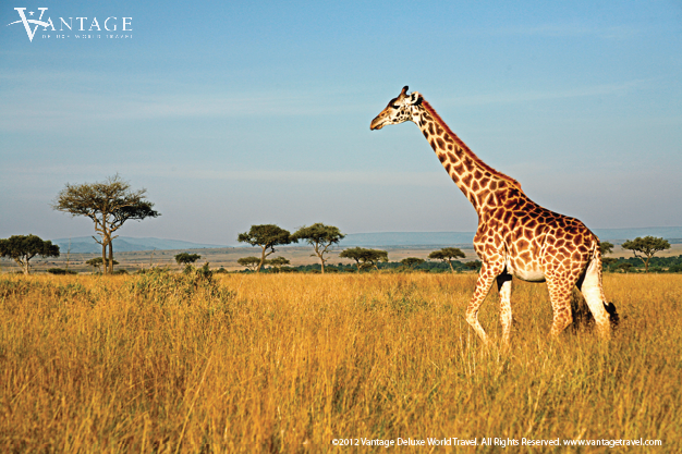 Kenya, Masai Mara, Giraffe walking through the grasslands
