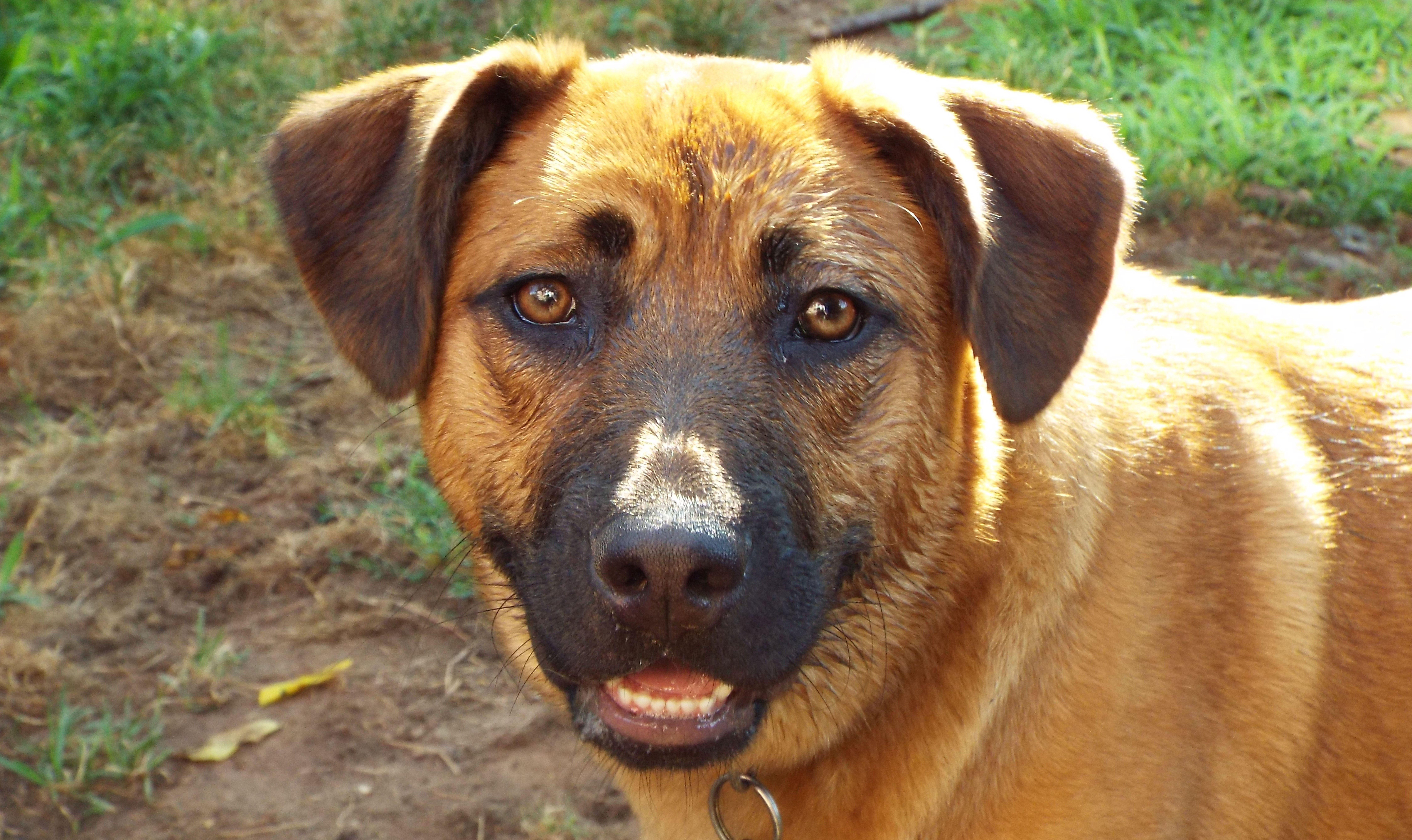 Black Mouth Cur Dog Breed Information Pictures Dogtime In 2020 Black Mouth Cur Black Mouth Cur Dog Dog Breeds