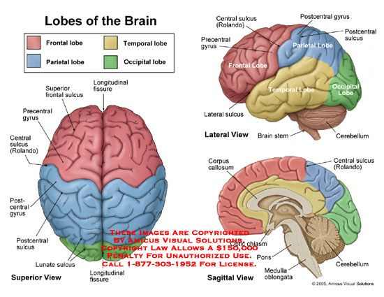 Brain Diagram Google Search Brain Lobes Brain Models Brain Anatomy And Function