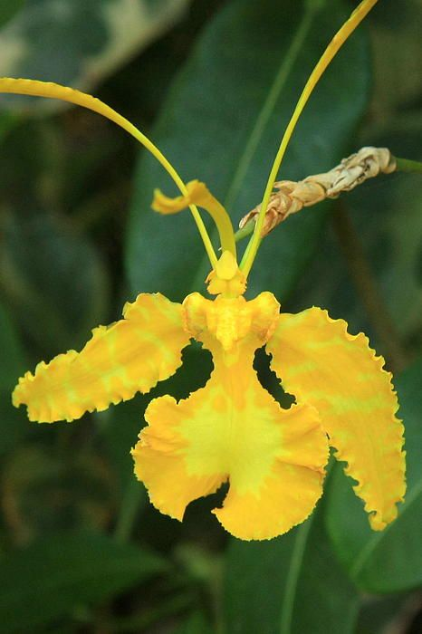 Butterfly Orchid By Frank Townsley Rare Orchids Unusual Flowers Strange Flowers