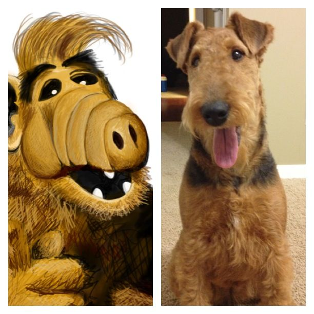 Maybe Maybe Not Airedale Dogs Bully Terrier Airedale Terrier