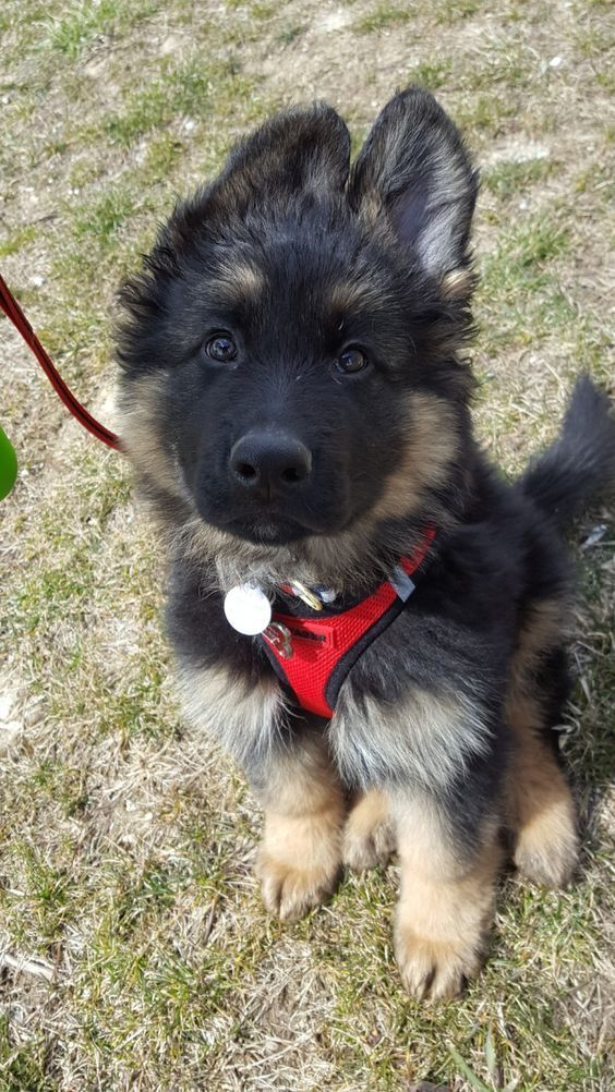 Paws Passion No Pull Harness German Shepherd Puppies German Shepherd Dogs Shepherd Puppies