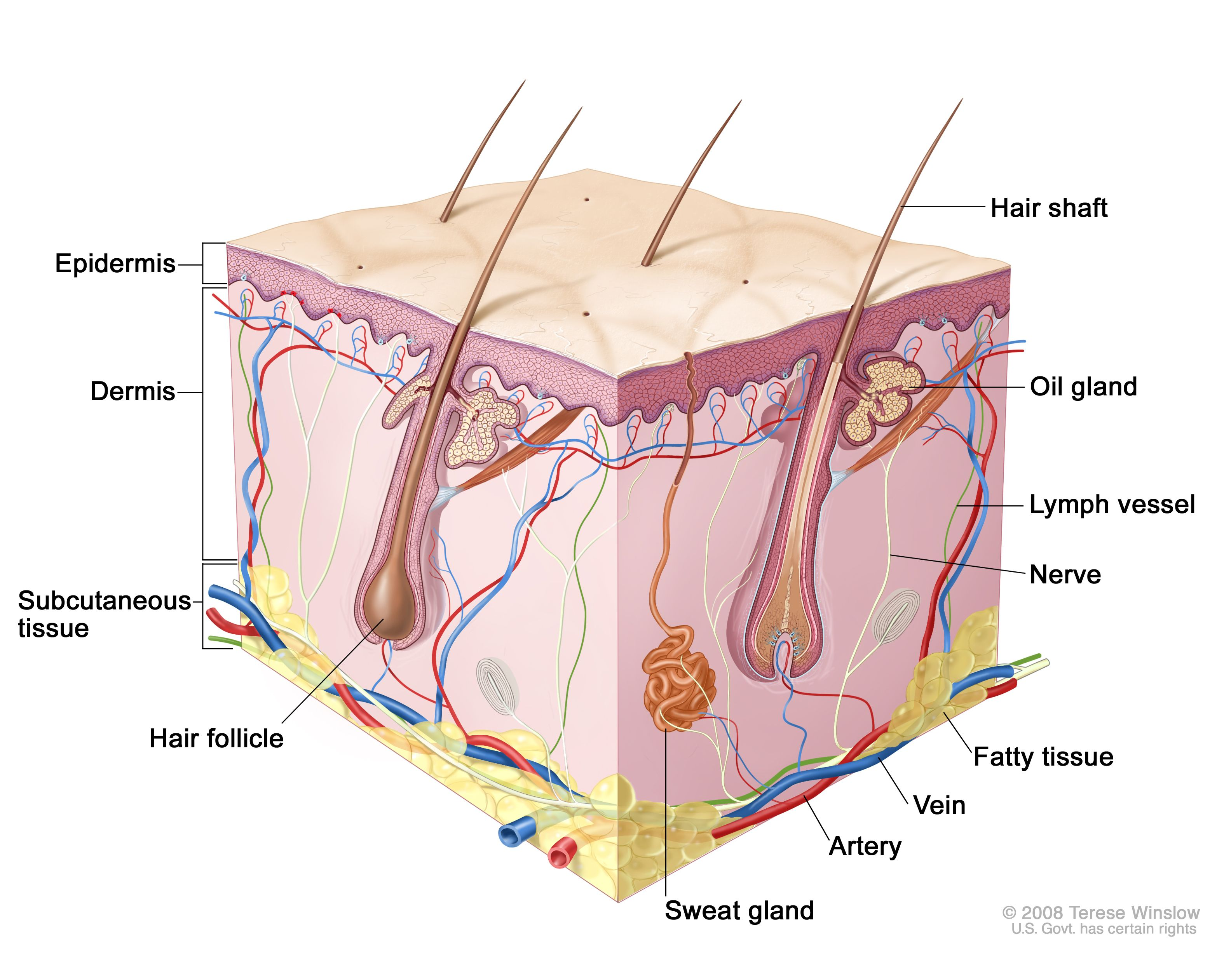 Skin anatomy; drawing shows layers of the epidermis, dermis, and ...